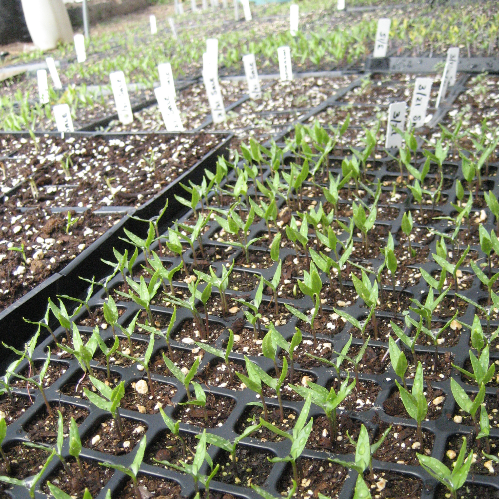 square-FB-email-pepper-seedlings-trays