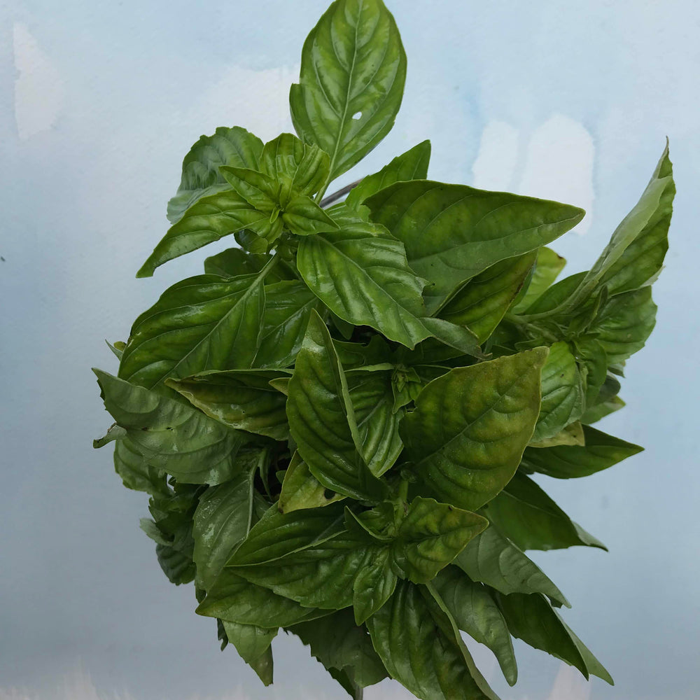 Italian Large Leaf Basil Seedlings
