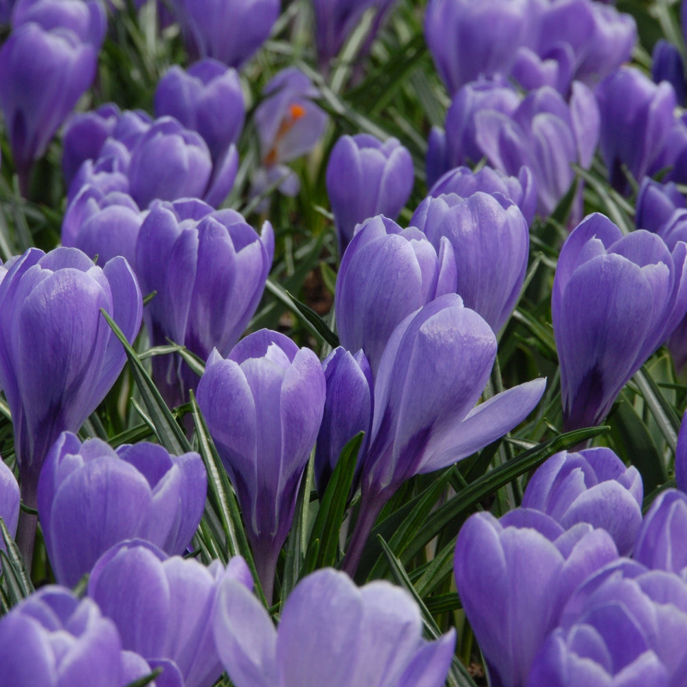 Dutch Large Flowering Crocus