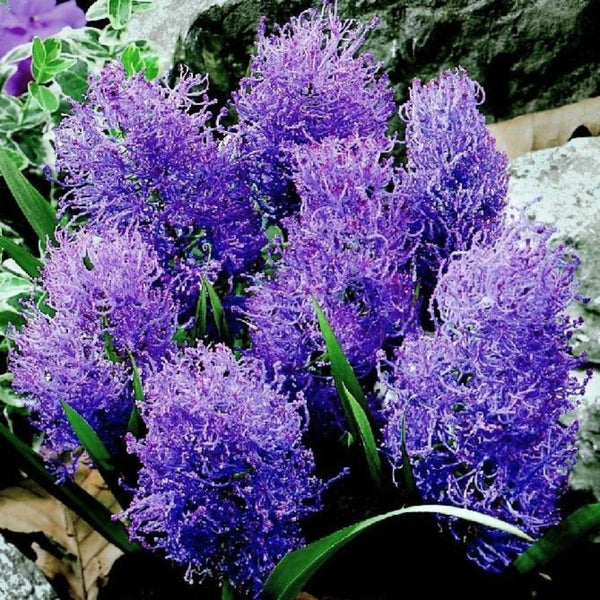"Muscari ""Feather Hyacinth"""