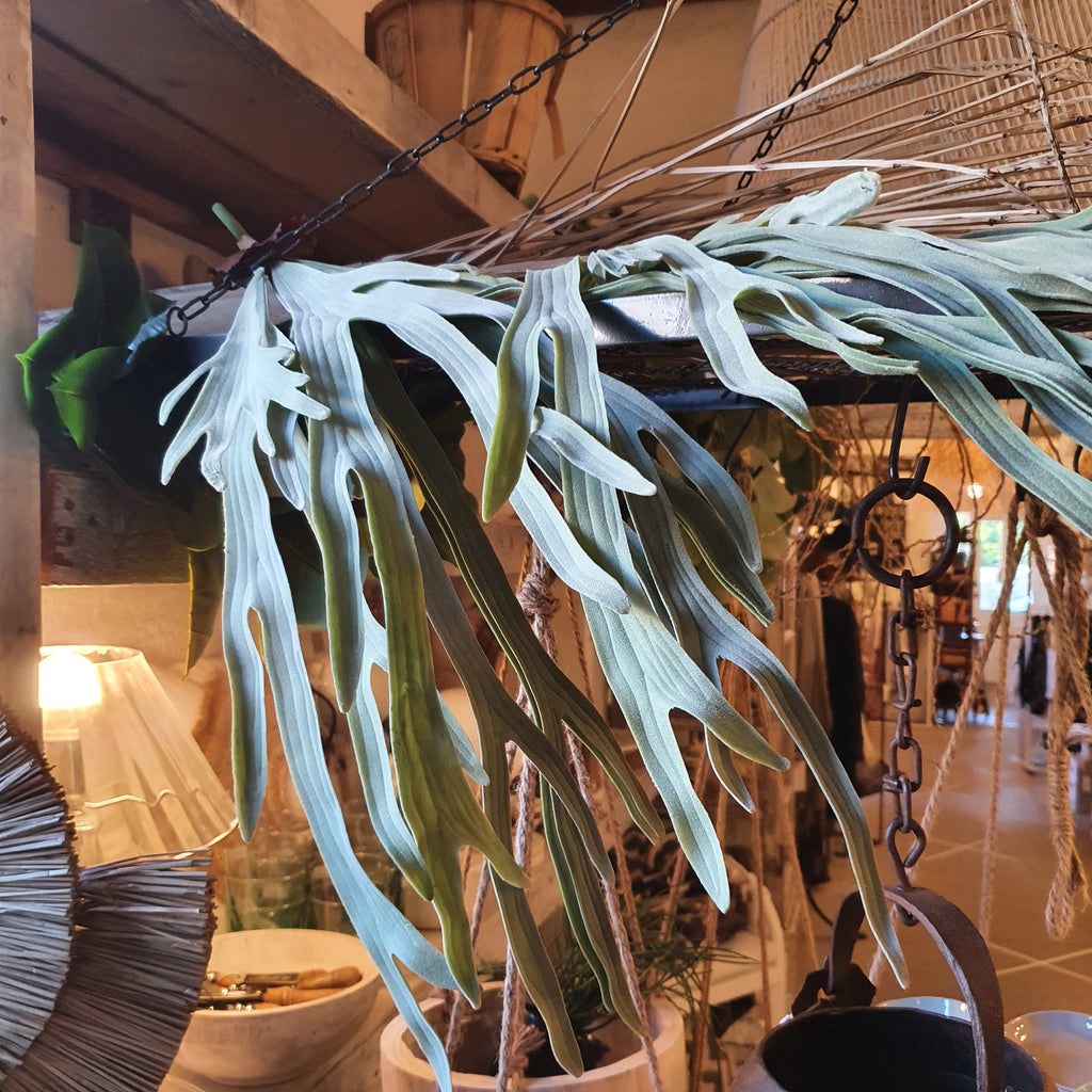 Staghorn Fern Hanging