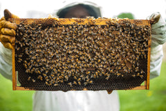 Bee keeper holding up a tray full of honeybees