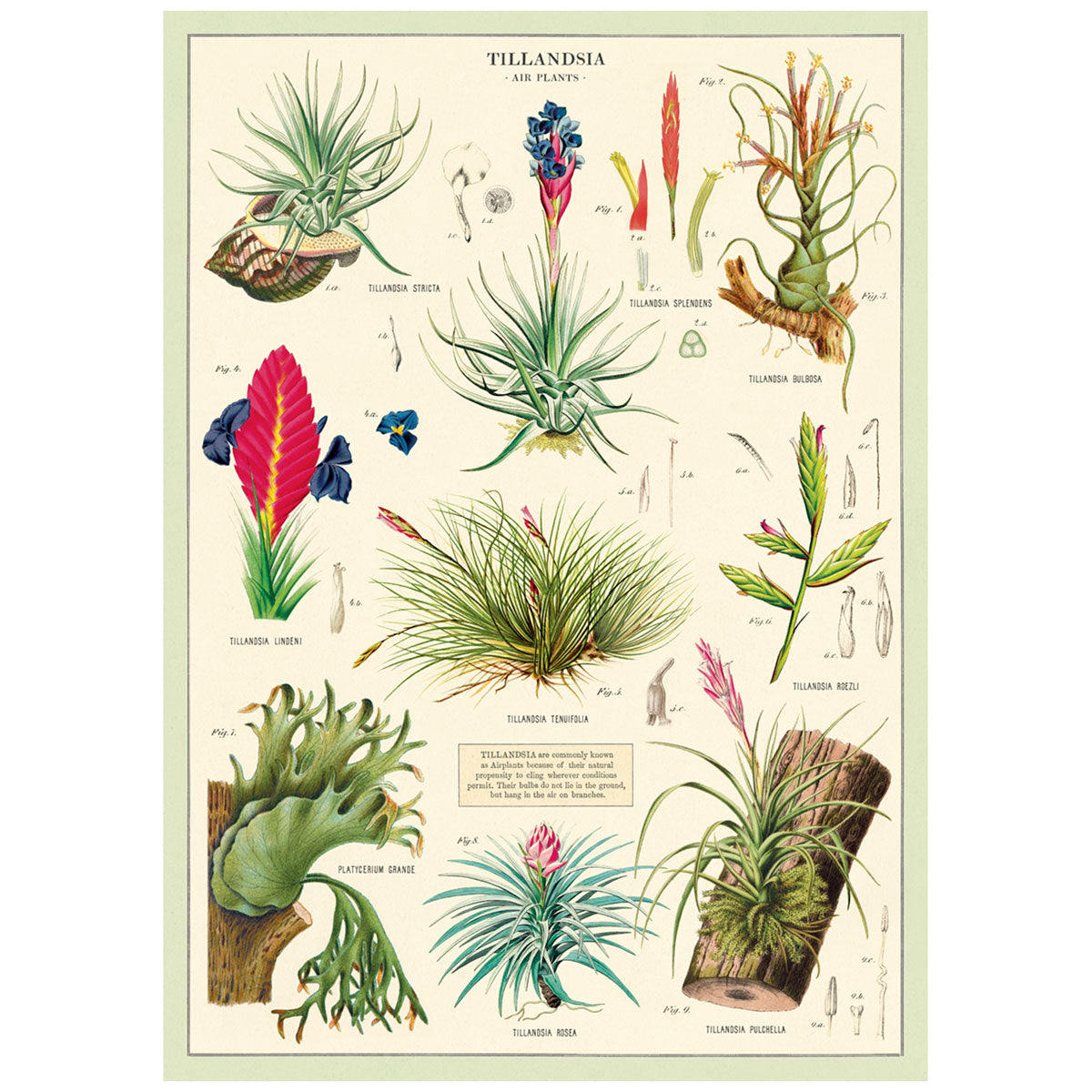 Cavallini & Co. Poster Wrap: Air Plants