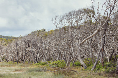 paperbark trees at Home Beach on North Stradbroke Island