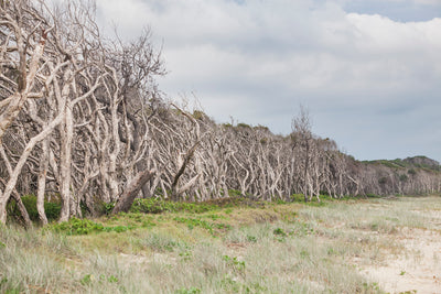 melaleuca paperbark trees at Home Beach on North Stradbroke Island