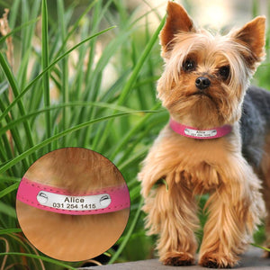 Yorkie wearing pink leather collar