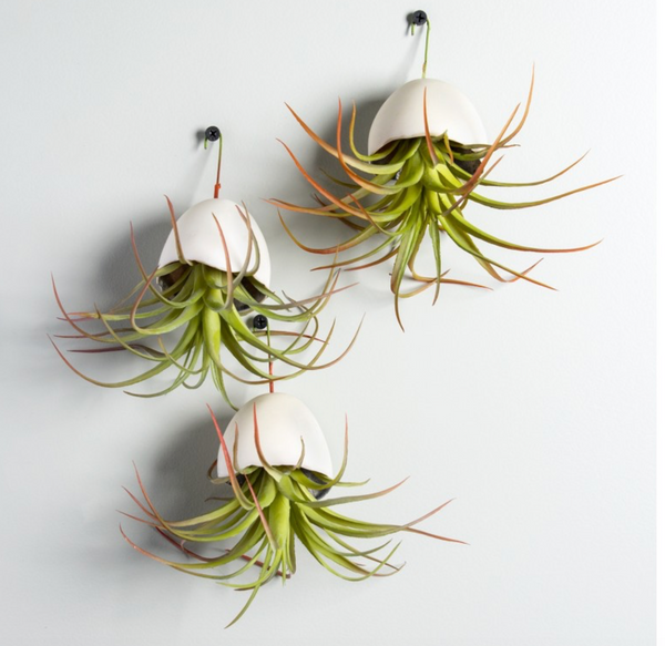 Hanging Tillandsia Air Plant in Resin Pod - Sotre Collection