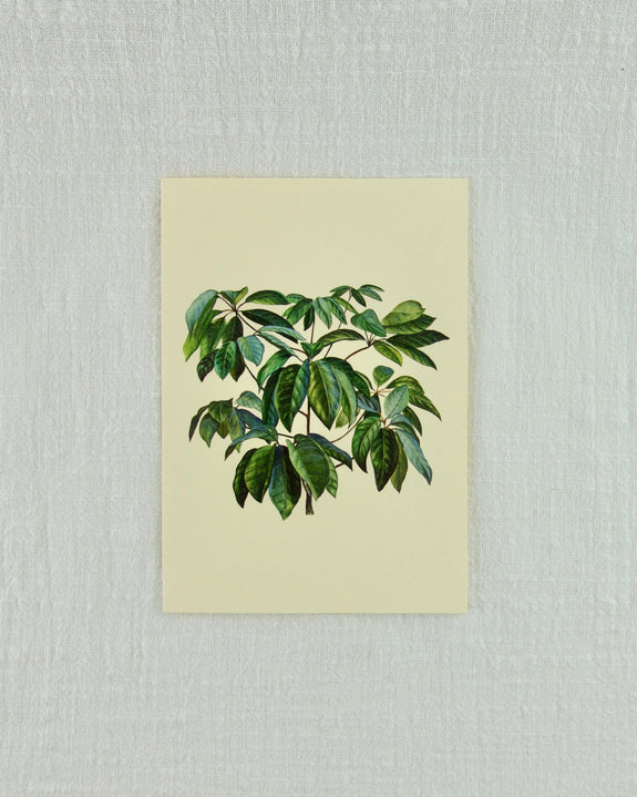 Ficus Greeting Card