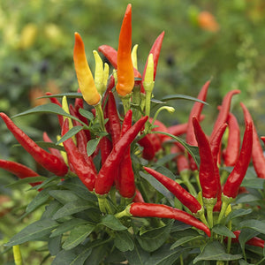 Chilly Chilli Seeds F1 Heatless