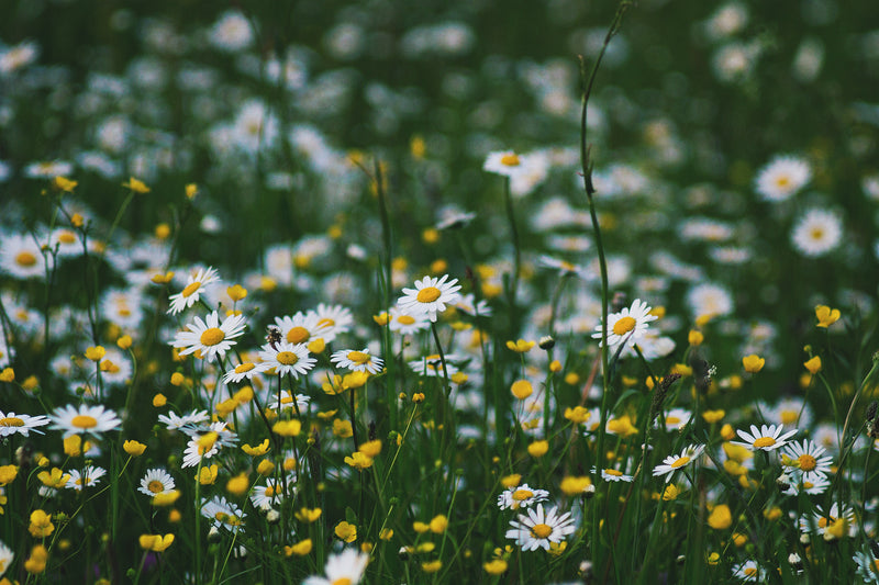 chamomile fields