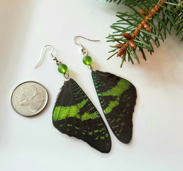 Real Madagascan Sunset Moth Forwing Earrings