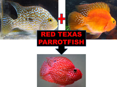 RED TEXAS PARROT FISH