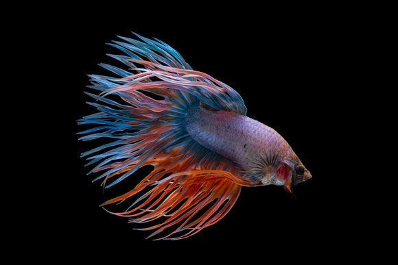 CROWNTAIL BETTA / FIGHTER FISH: 1 Pair for Adoption