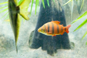 SIX BARRED DISTICHODUS (Clown tetra): 1 Pair for Adoption