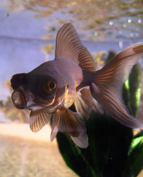 BLACK MOOR GOLDFISH: 1 pair for Adoption