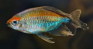 CONGO TETRA: 1 pair for Adoption