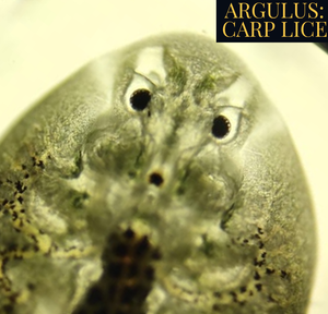 ARGULUS TREATMENT FOR FISH