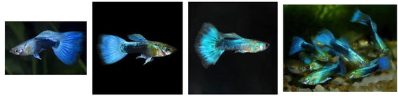 BLUE NEON GUPPY MALE: 1 Pair for Adoption