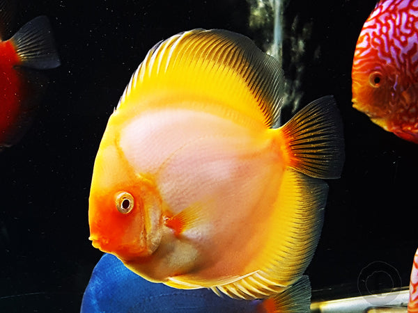 Image result for 4 Notes to Keep in mind For Discus Breeding