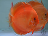 DISCUS  A GRADE (WITH OUT HORMONE): 1 Pair for Adoption
