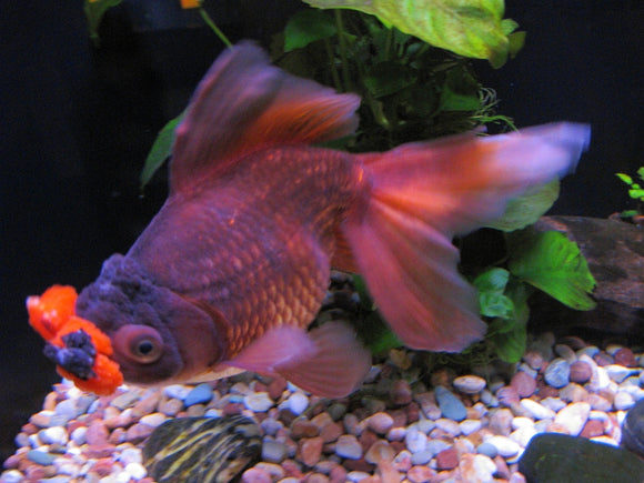 POMPOM GOLDFISH: 1 Pair for Adoption
