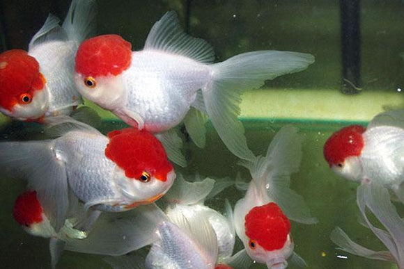 RED CAP ORANDA GOLDFISH: 1 Pair for Adoption