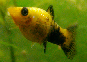 GOLD BLACK MOLLY: 1 pair for Adoption
