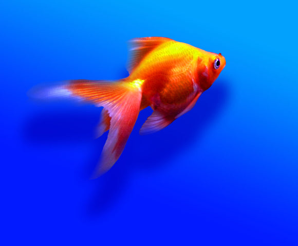 RED FANTAIL GOLDFISH: 1 Pair for Adoption