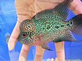 BIG HEAD FLOWERHORN For Adoption