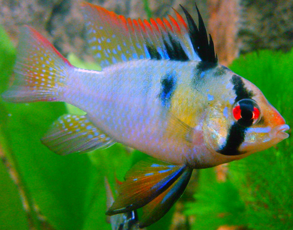 RAMIREZ ORNAMENTAL FISH For Adoption
