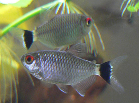 RED EYE TETRA: 1 Pair for Adoption