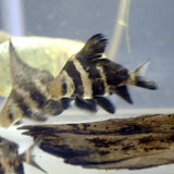 ASIATIC (HIFIN) LOACH/ CHINESE HIGH-FIN BANDED SHARK: 1 pair for Adoption