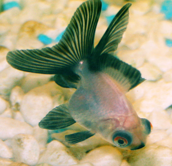 PANDA MOOR GOLDFISH: 1 pair for Adoption
