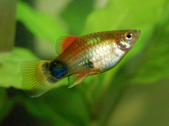MICKY PLATY FISH: 1 Pair for Adoption
