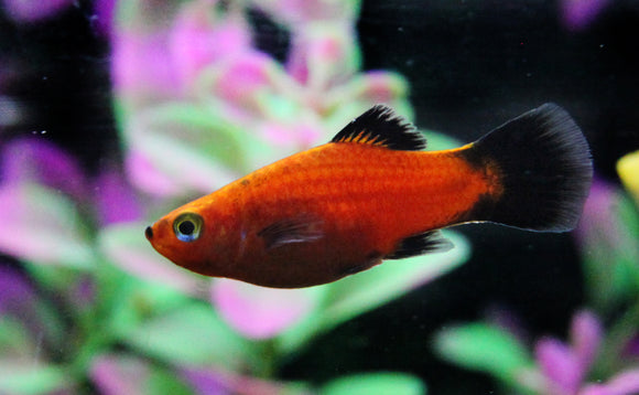 PLATY: 1 Pair for Adoption