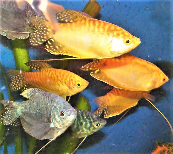 ALBINO/GOLDEN GOURAMI: 1 pair for Adoption
