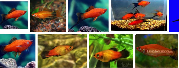 RED WAGTAIL SWORDTAIL: 1 Pair for Adoption