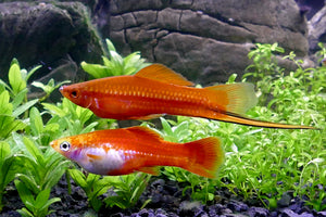 RED SWORDTAIL: 1 Pair for Adoption