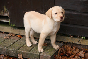 Labrador Puppies For Adoption (Not Free)