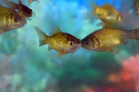 5 PAIRS COPPER GOLD FISH For Adoption