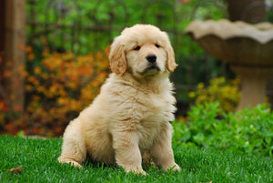 Golden Retriever Puppies For Adoption (Not Free)