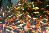 ASSORTED KOI CARP: 1 Pair for Adoption