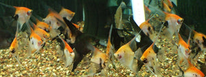 KOI GHOST ANGEL FISH: 1 Pair for Adoption