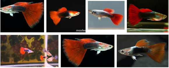 RED TUXEDO GUPPY MALE: 1 Pair for Adoption