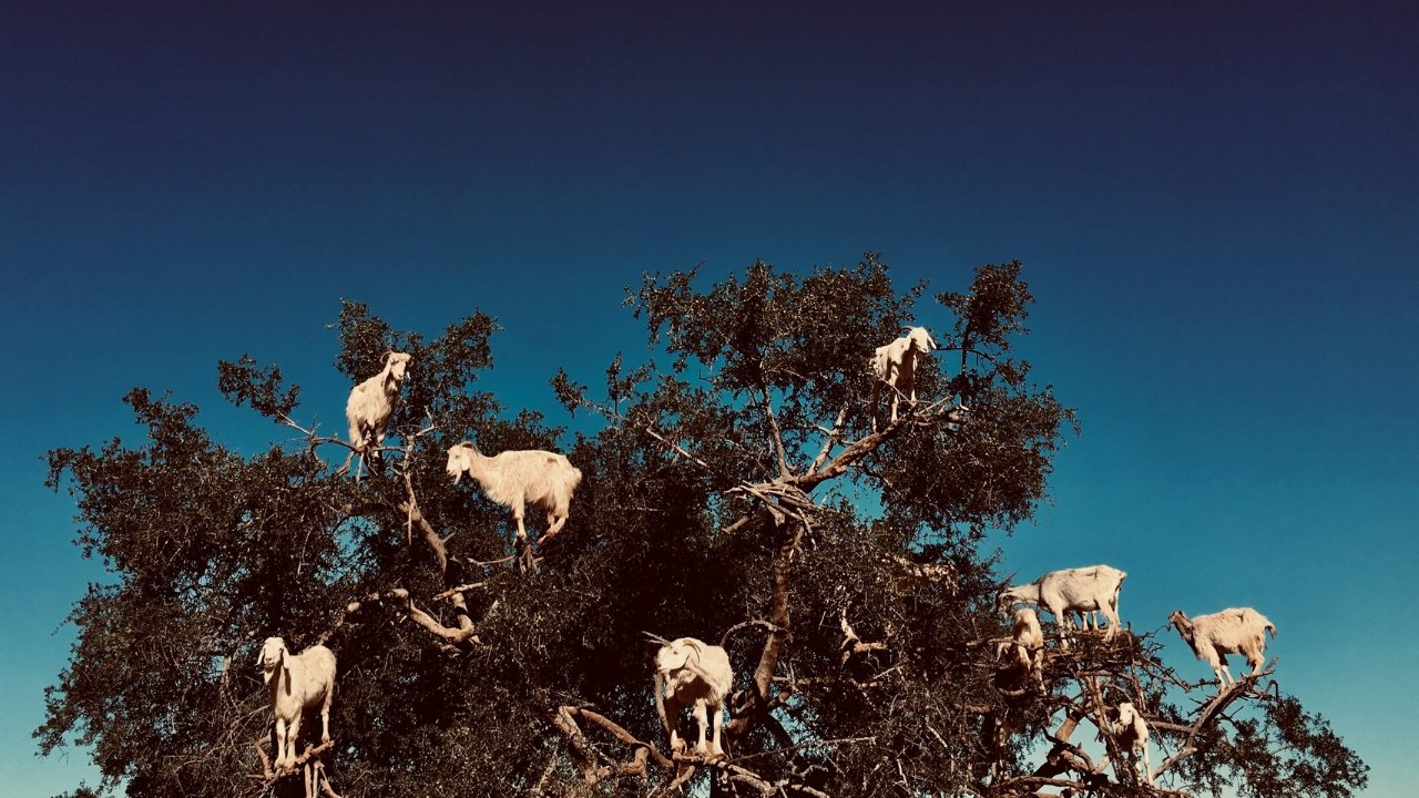 The Moroccan Tree-Climbing Goats – A Story of My Family  | A Map to Anywhere