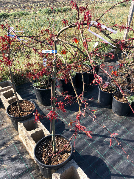 Acer dissectum 'Inaba Shidare'