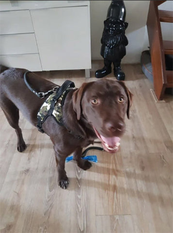 dog with camo harness