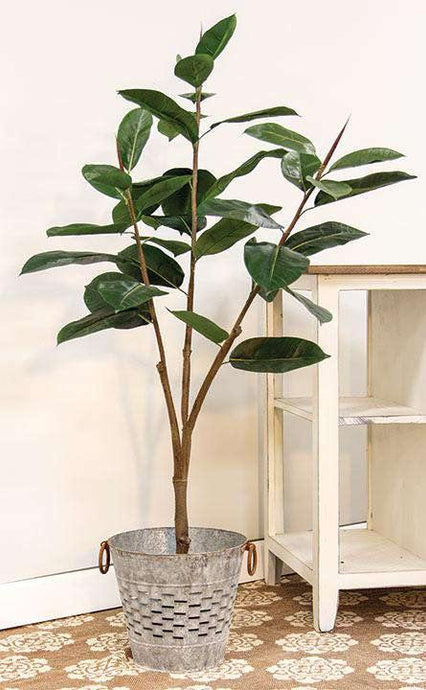 Rubber Tree, 4.5 Ft