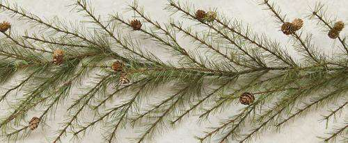 Cypress Pine Garland - 6ft Garlands CWI+