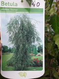 Young's Weeping Birch (Betula- pendula youngii)
